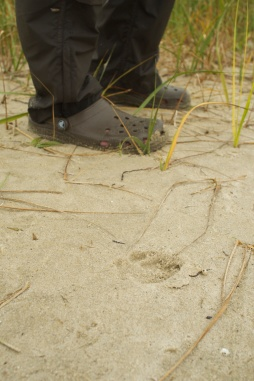 Coyote tracks: not welcome