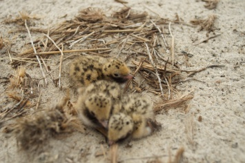 Newly-hatched Common Tern chicks