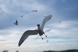 Tern colony welcoming committee