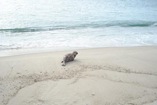 East Beach Harbor Seal