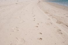 Coyote tracks, approaching tern colony