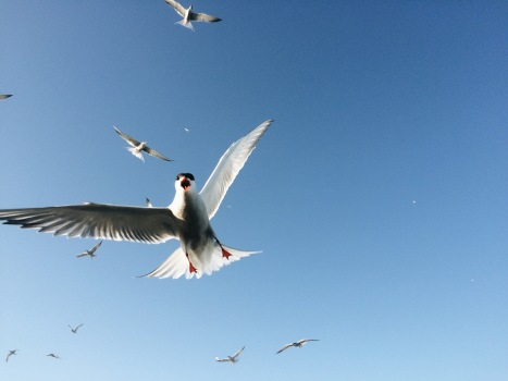 Tern dive bombing