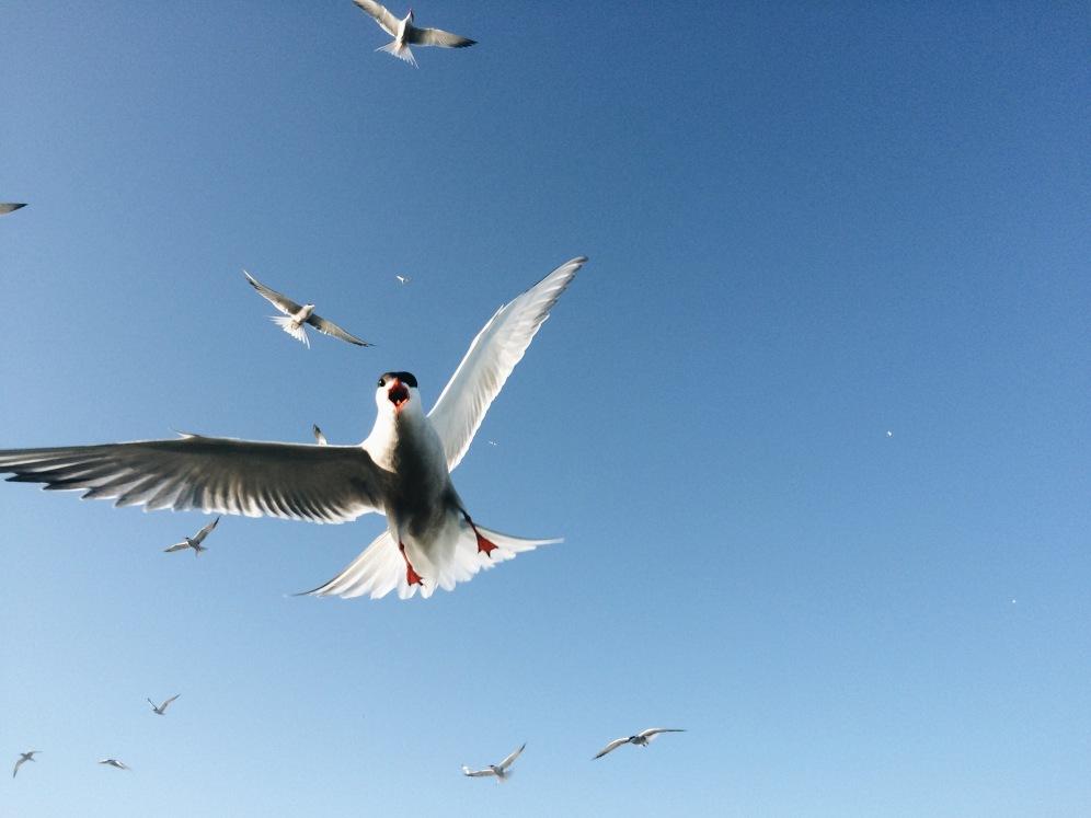 Tern dive bombing