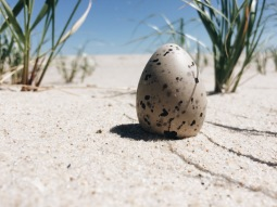 Unhatched eggs are a reality of life on the island.